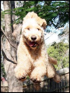 Golden Doodle in flight!